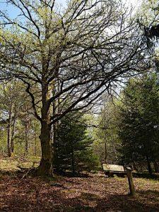 Arboretum Anould: Deutsche Eiche.