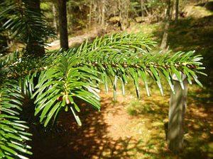 Arboretum Anould: Nordmanntanne.