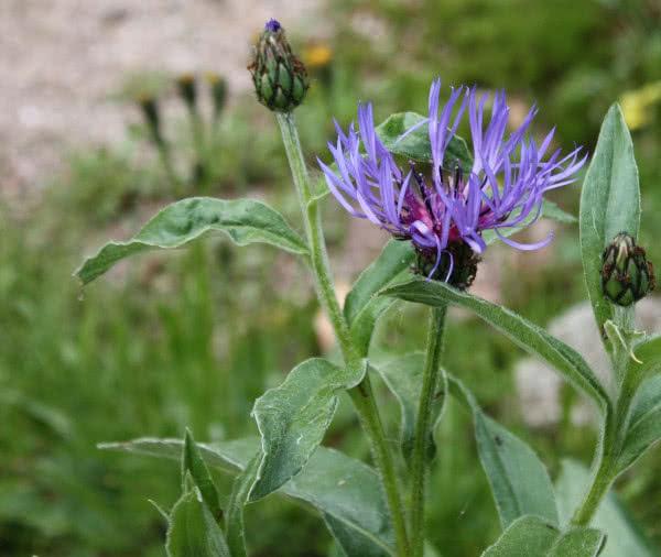 Berg-Flockenblume, Cyanus montanus