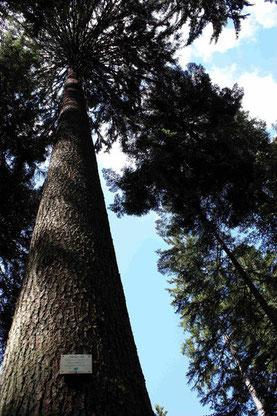 Einer der höchsten Bäume Europas. Die Fichten der Straiture.