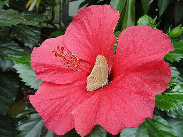 Exotische Schmetterlinge: Heller Schmetterling auf roter Hibiskusblüte