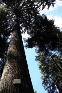 The most highest trees of Europe. Defile de Straiture.