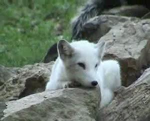 Junger weisser Wolf aus Tierpark Sainte-Croix bei Rhodes