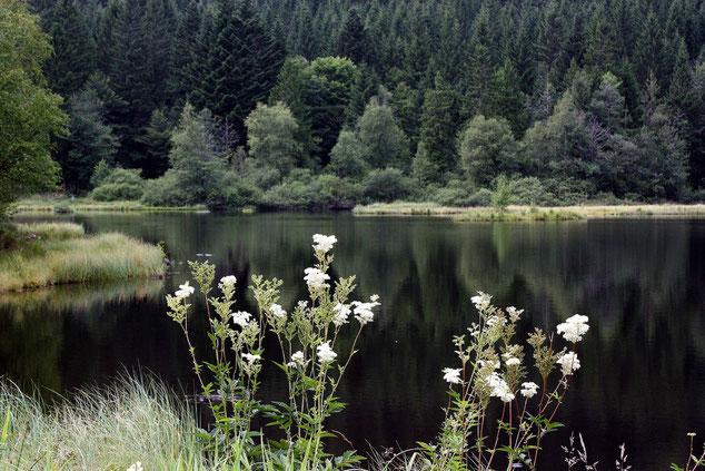 La tourbière Lac de Lispach avec la reine des prés.