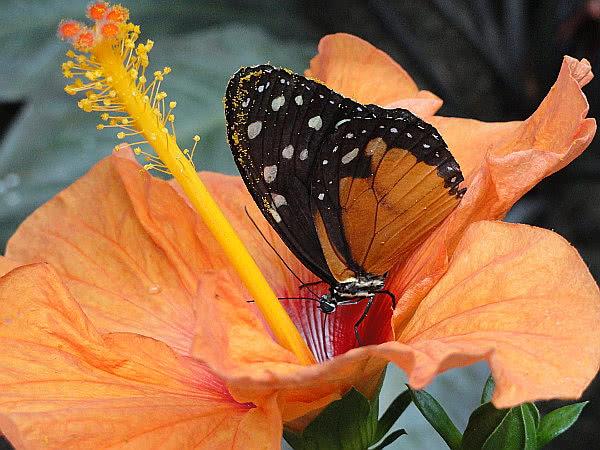 Exotische Schmetterlinge: Monarchfalter auf oranger Hibiskusblüte