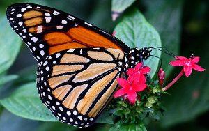 Exotische Schmetterlinge: Monarchfalter auf kleiner roter Blüte