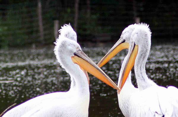 Pelikane-Tierpark-Sainte-Croix-bei-Rhodes