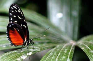 Rot-schwarzer Schmetterling