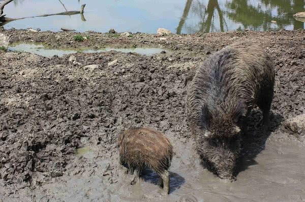 Sau-mit-Ferkel-Tierpark-Sainte-Croix-bei-Rhodes