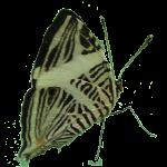 Exotische Schmetterlinge: Freigestellter Schmetterling