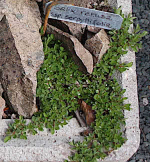 Stumpfblaettrige Weide, Salix retusa