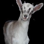 Zwergziege-Freigestellt-Tierpark-Sainte-Croix-bei-Rhodes