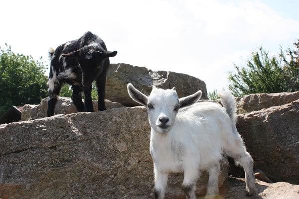 Weiße und schwarze Zwergziege